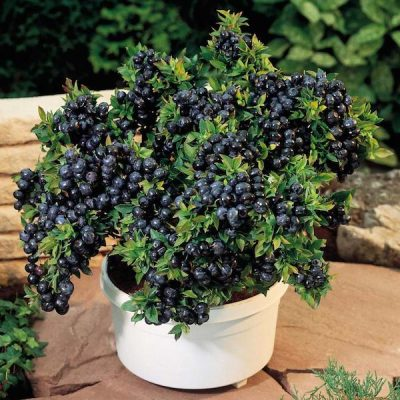 how-to-grow-your-own-organic-blueberries-tutorial
